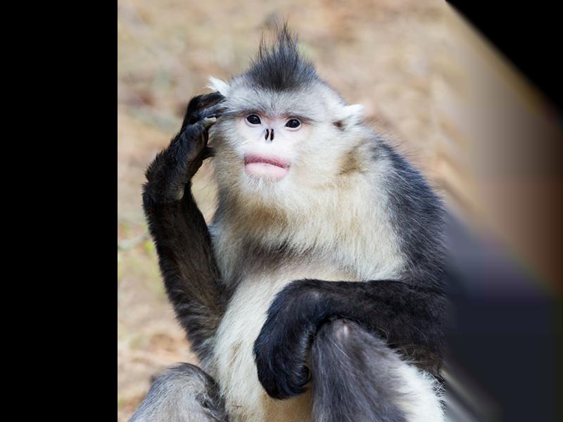 gagali-maymun