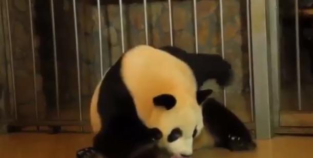 Doğum Yapan Panda'nın Bu Görüntüleri Sizi Çok Şaşırtabilir