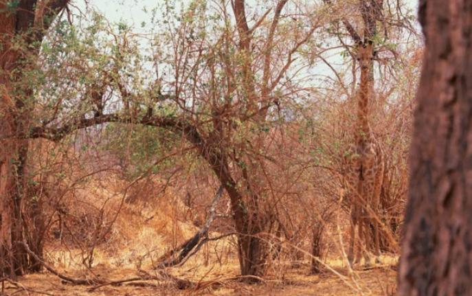 zürafa nerede